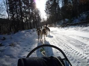 Echappee sauvage en chien de traineau