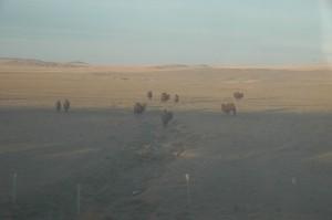 Chameaux dans le désert de Gobi