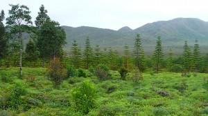 Forêt de petits pins colonnaires