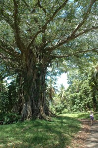 l'arbre magique: le Banian