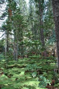 Domination des pins colonaires dans cette partie