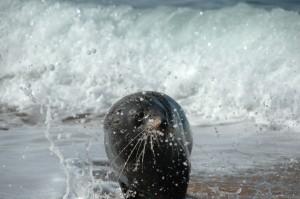 Sortie d'eau pour un phoque à fourrure