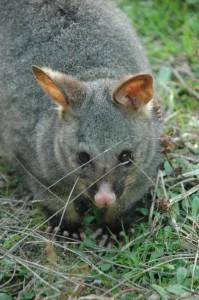 Bel Opossum