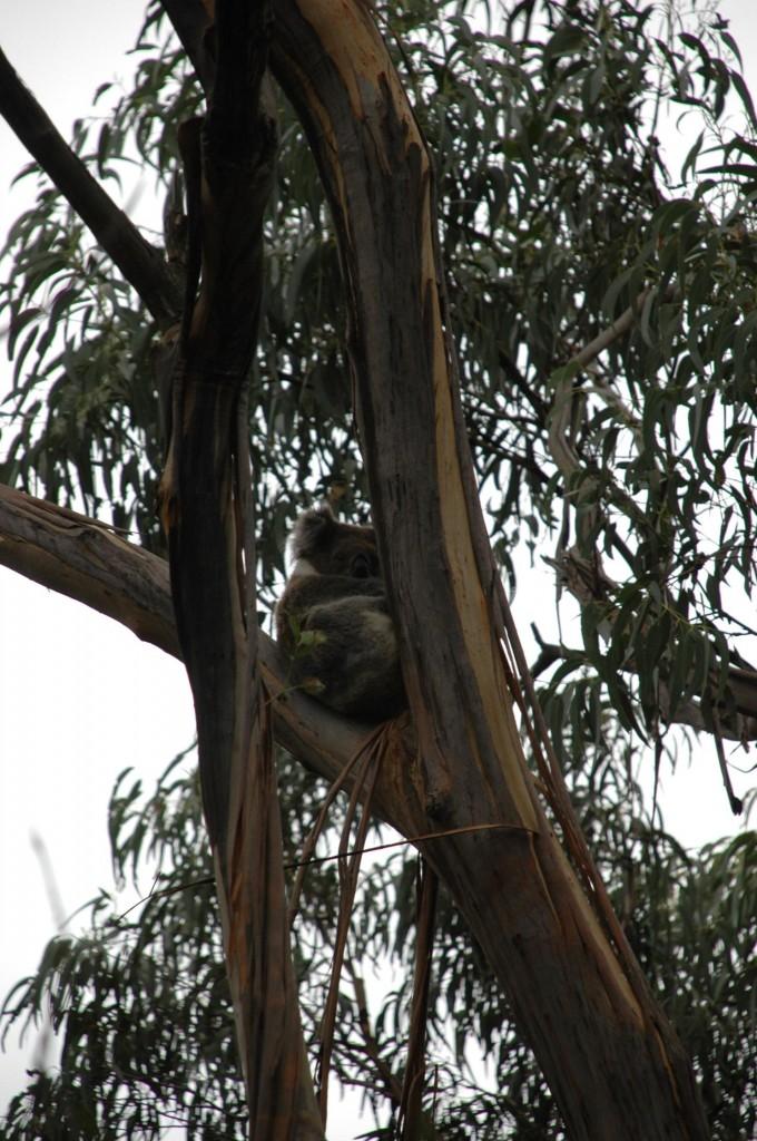Koalas à Lorme