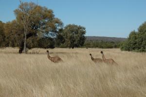 Emeus dans le bush