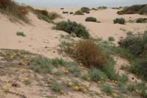 Petites citrouilles au milieu des dunes