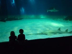 Requin scie à l'affût